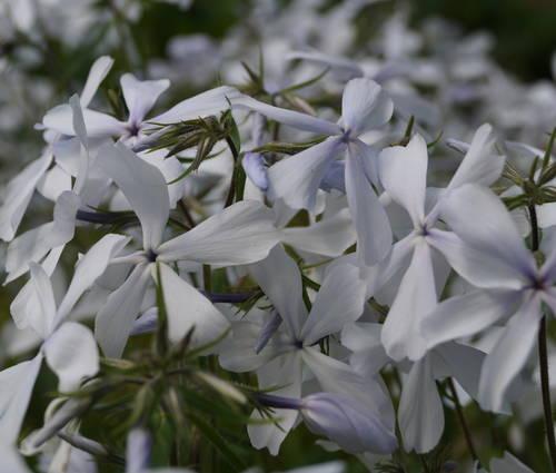 Produktbild Phlox divaricata 'White Perfume'