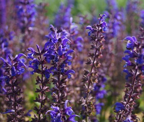 Produktbild Salvia nemorosa 'Viola Klose'