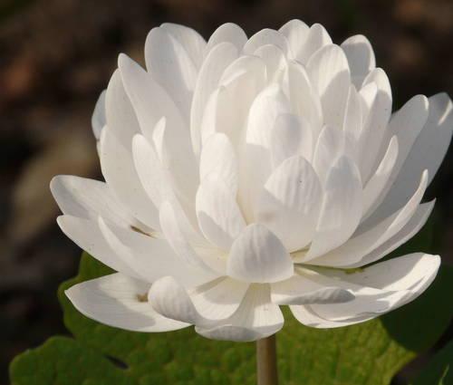 Produktbild Sanguinaria canadensis 'Multiplex'