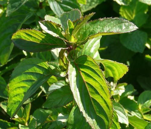 Produktbild Mentha species 'Basilmint'