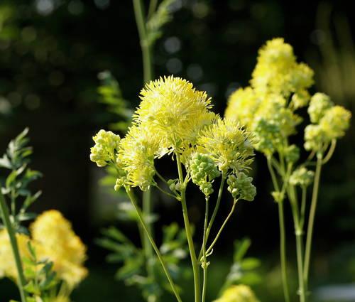Produktbild Thalictrum flavum ssp. glaucum