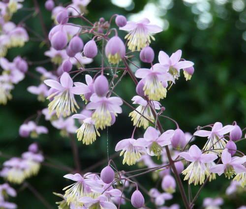 Produktbild Thalictrum rochebruneanum