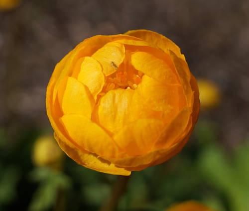 Produktbild Trollius x cultorum 'Orange Globe'