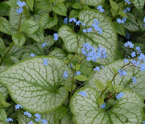 Produktbild Brunnera macrophylla 'Jack Frost' ®