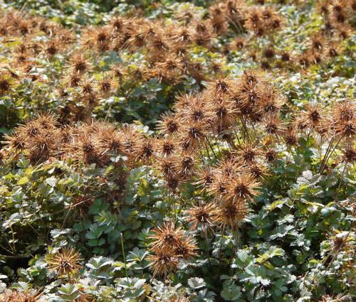 Produktbild Acaena microphylla 'Kupferteppich'