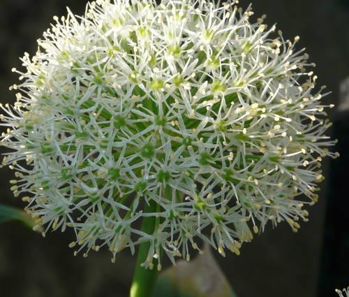 Produktbild Allium karataviense 'Ivory Queen'