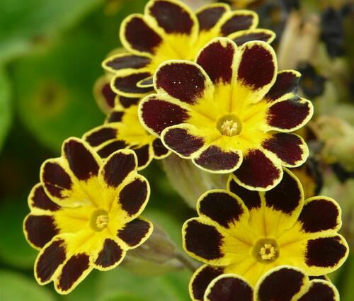Produktbild Primula Elatior-Hybride 'Gold Lace'
