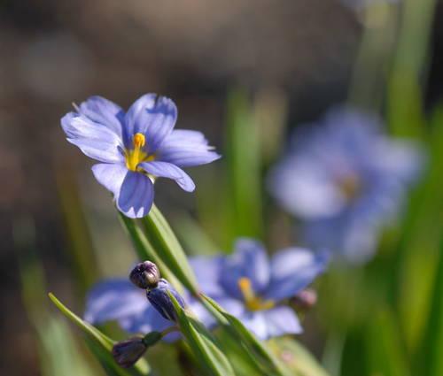 Produktbild Sisyrinchium californicum 'Blue Sky'