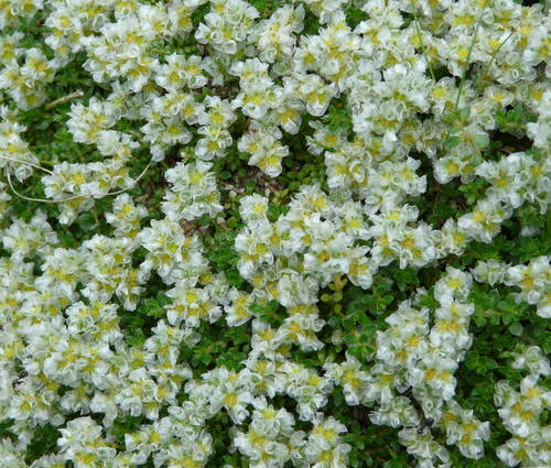 Produktbild Paronychia kapela ssp. serpyllifolia