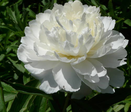 Produktbild Paeonia lactiflora 'Shirley Temple'