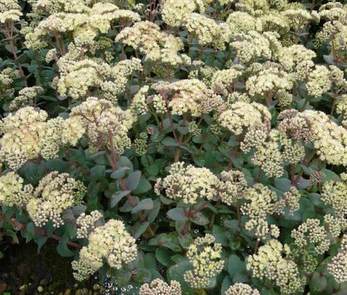 Produktbild Sedum telephium ssp. ruprechtii 'Hab Gray'