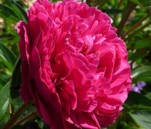 Produktbild Paeonia lactiflora 'Kansas'