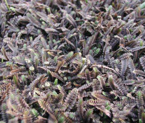 Produktbild Cotula squalida 'Platt's Black'