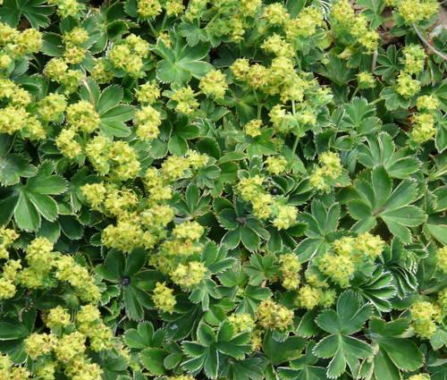 Produktbild Alchemilla faeroensis ssp. pumila