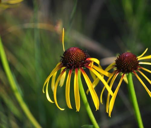 Produktbild Echinacea paradoxa