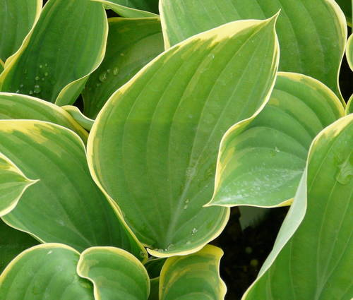 Produktbild Hosta Hybride 'Clifford's Forest Fire' ®
