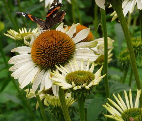 Produktbild Echinacea Hybride 'Fragrant Angel' ®