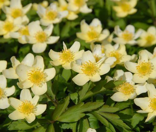 Produktbild Anemone x lipsiensis