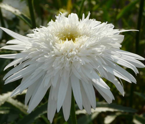 Produktbild Leucanthemum Maximum-Hybride 'Eisstern'