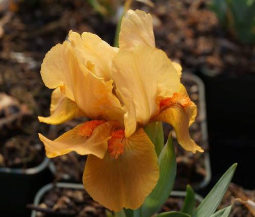 Produktbild Iris barbata-nana 'Orange Tiger'