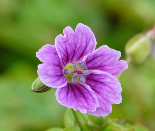 Produktbild Geranium nodosum 'Clos du Coudray'