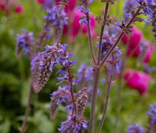 Produktbild Salvia Nemorosa-Hybride 'Saxdorf'