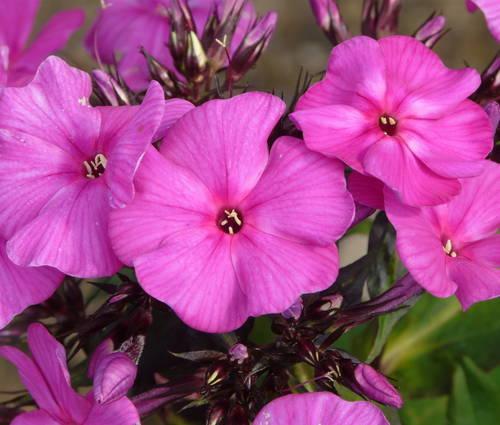 Produktbild Phlox amplifolia 'Shemeneto'