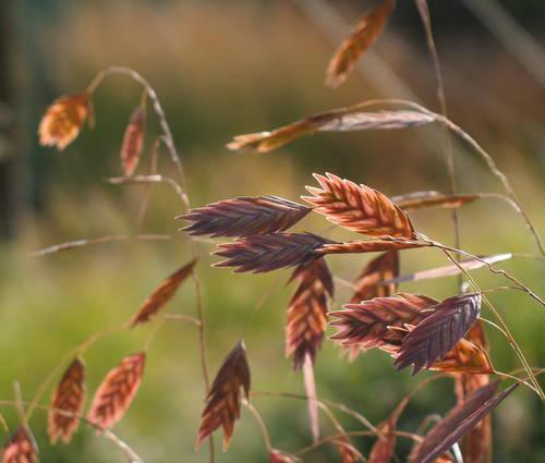 Produktbild Chasmanthium latifolium