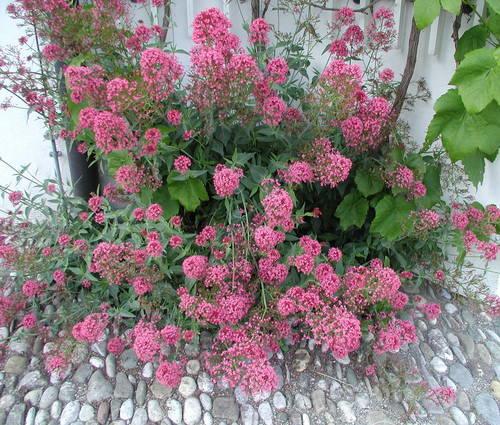 Produktbild Centranthus ruber var. coccineus 'Rosenrot'