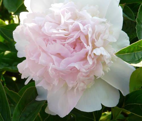 Produktbild Paeonia lactiflora 'Bella Rosa'