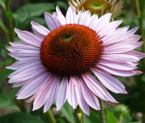 Produktbild Echinacea purpurea 'Hope' ®
