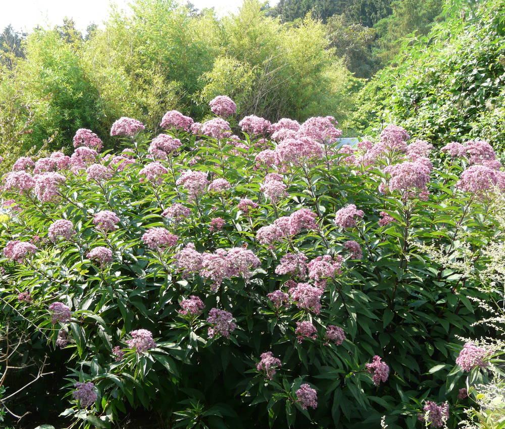 Wasserdost Purple Bush-Eupatorium fistulosum