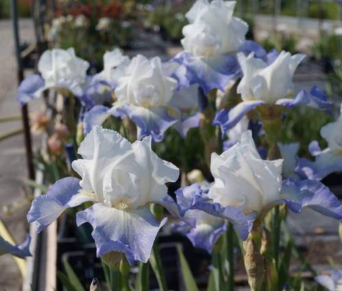 Produktbild Iris barbata-elatior 'Fuji's Mantle'