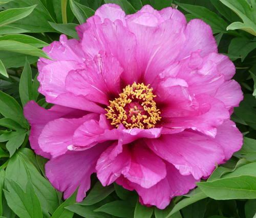 Produktbild Paeonia Hybride 'Morning Lilac'