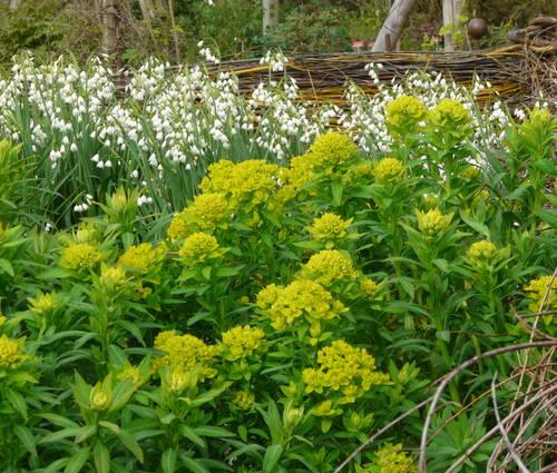 Produktbild Euphorbia palustris 'Teichlaterne'