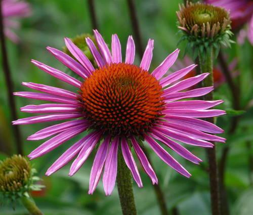 Produktbild Echinacea purpurea 'Pica Bella' ®