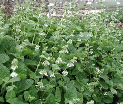 Produktbild Salvia verticillata 'Alba'