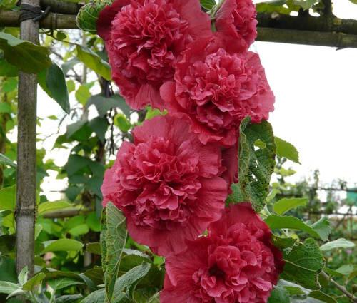 Produktbild Alcea rosea plena 'Chaters Rot'