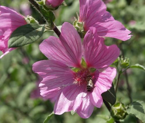 Produktbild Lavatera Olbia-Hybride 'Kew Rose'