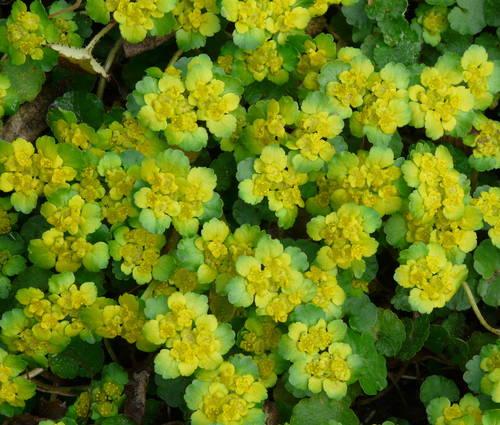 Produktbild Chrysosplenium alternifolium