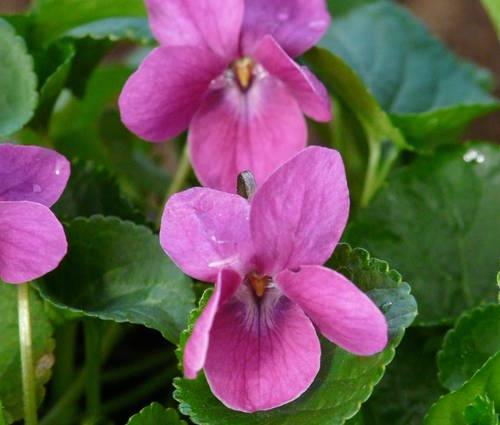 Produktbild Viola odorata 'Melanie'