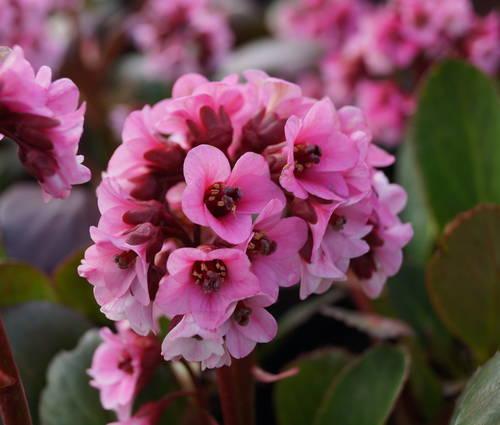 Produktbild Bergenia Hybride 'Pink Dragonfly'