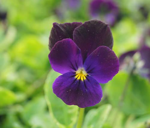 Produktbild Viola cornuta 'Bowles Black'