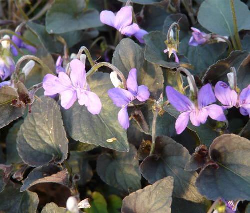 Produktbild Viola labradorica