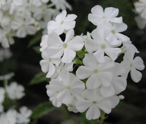 Produktbild Phlox amplifolia 'David'