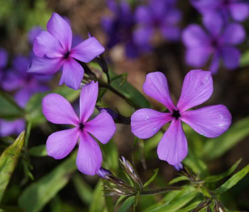 Produktbild Phlox divaricata 'Eco Texas Purple'