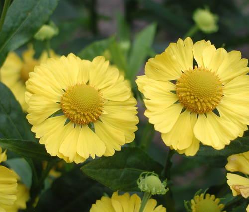 Produktbild Helenium Hybride 'Kanaria'