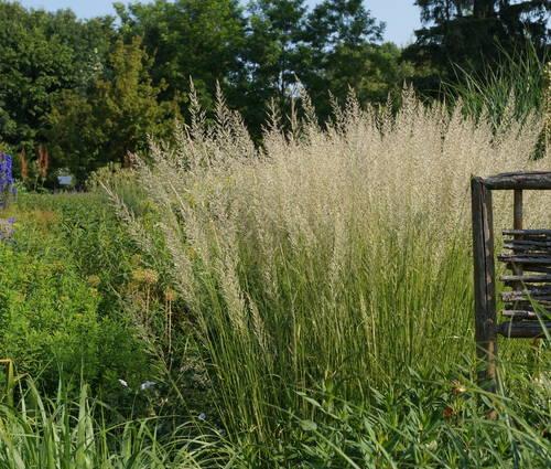 Produktbild Calamagrostis x acutiflora 'Waldenbuch'