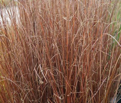 Produktbild Carex buchananii
