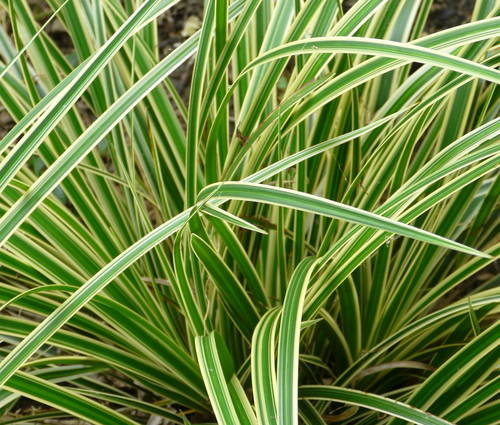 Produktbild Carex morrowii 'Aureovariegata'